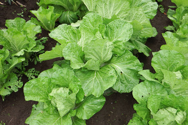 白菜(農作業)